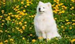 Samoiedo, il cane giocherellone