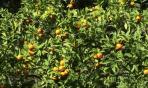 Arancio amaro: fa perdere peso? Non solo