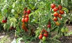 I pomodori dell'Italia meridionale: un anticancro naturale