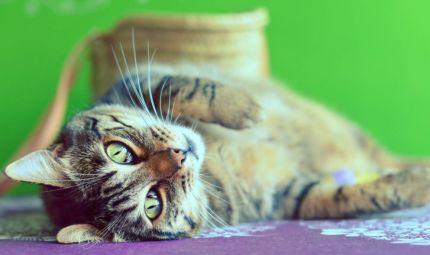 TBC da gatto domestico: primo caso al mondo nel Regno Unito