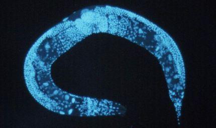 Un verme può salvarci dai danni dell'amiloidosi sul cuore