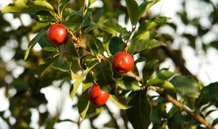 Contro febbre e starnuti, una pianta... vitaminica