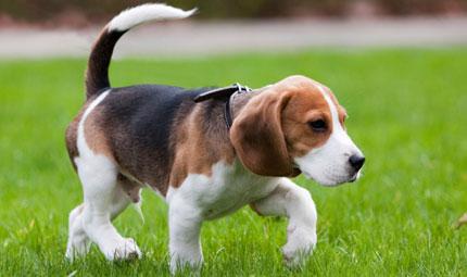 Green Hill: l'allevamento dei Beagle per la vivisezione