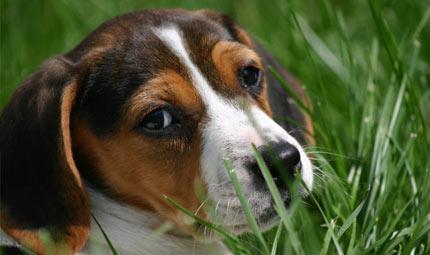 Finalmente liberi i primi Beagle