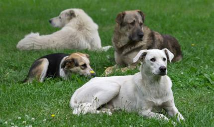 La carica dei  500 cani