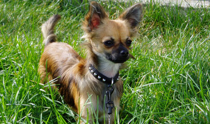 Chihuahua mania