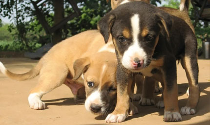Il traffico di cuccioli è finalmente reato