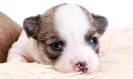 La Parvovirosi canina: la malattia dei cuccioli