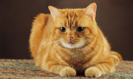 La rinotracheite virale felina