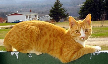 Gatti: le 10 razze più diffuse nel mondo