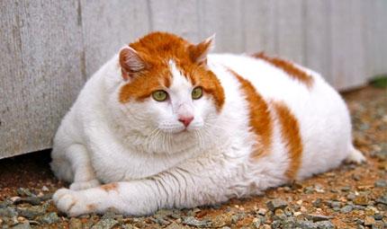Meow: il gatto di taglia oversize
