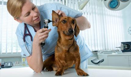 La cura delle orecchie nel cane