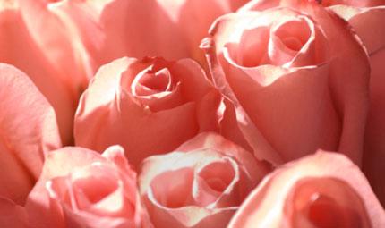 Rosa: il fiore della bellezza