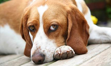 La torsione dello stomaco nel cane