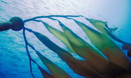 Le alghe e l'algoterapia