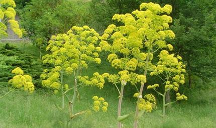 Una pianta velenosa contro il cancro