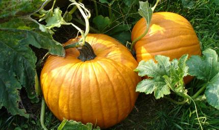 Zucca: un serbatoio di vitamine e carotene
